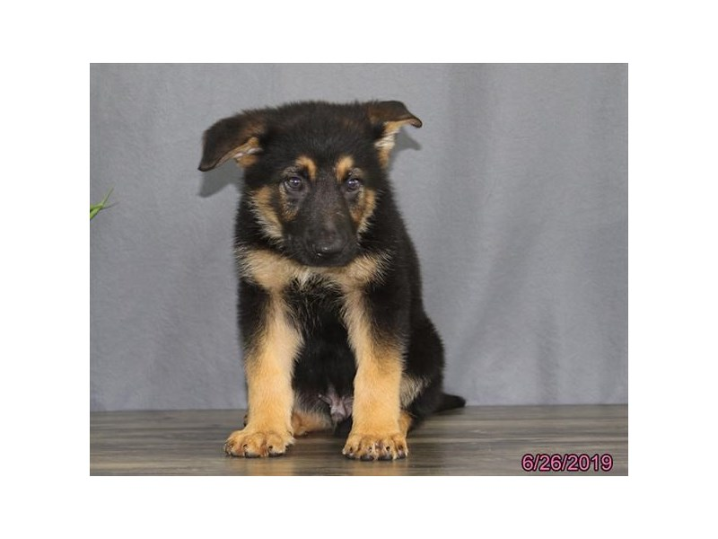 German Shepherd Dog-DOG-Male-Black-2392548-Petland Naperville