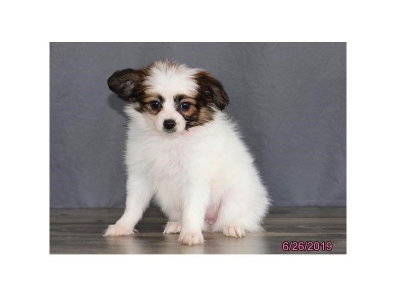 Papillon-Female-White / Brown-2392553-Petland Naperville
