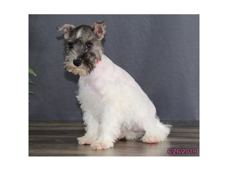Miniature Schnauzer-Female-Black-2392555-Petland Naperville