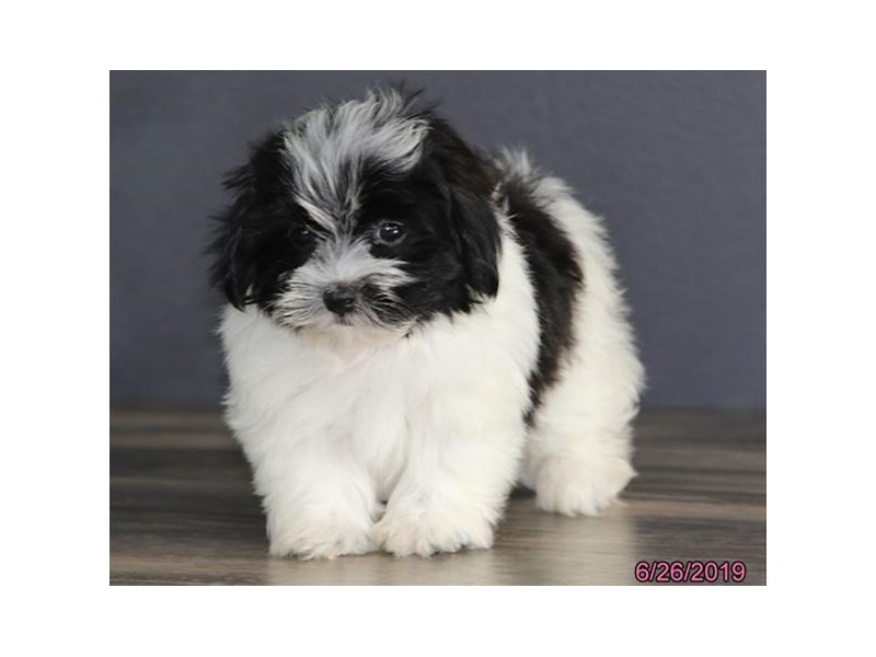 Havanese-DOG-Female-Black-2392557-Petland Naperville