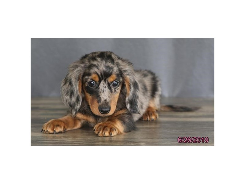 Dachshund-DOG-Male-Blue-2392558-Petland Naperville