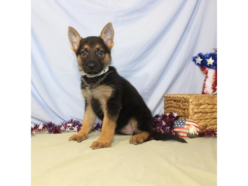 German Shepherd Dog-DOG-Female-Black / Tan-2392569-Petland Naperville