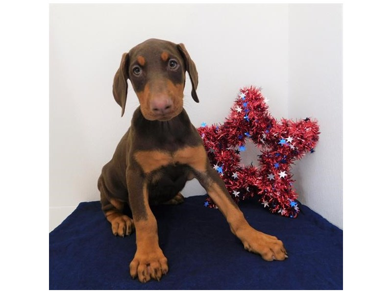 Doberman Pinscher-DOG-Female-Red / Rust-2392608-Petland Naperville