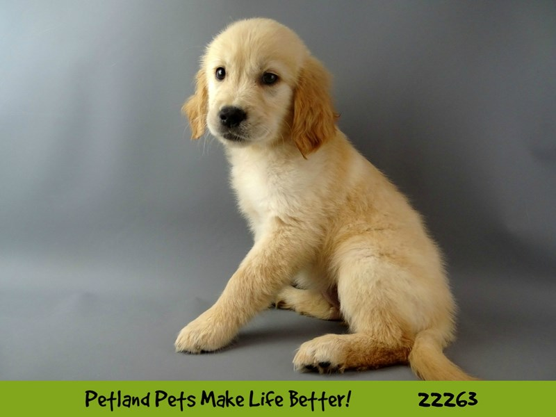 Golden Retriever-Female-Golden-2392562-Petland Naperville