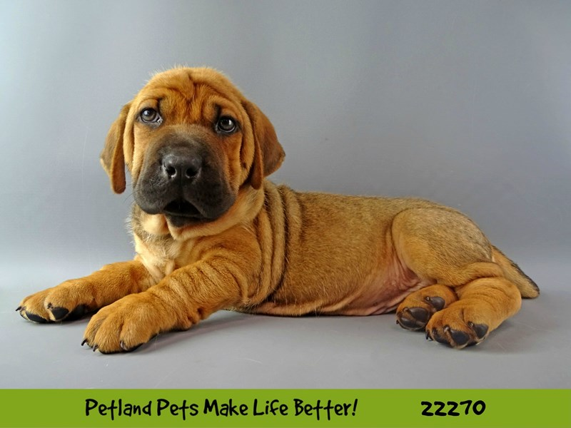 Walrus-DOG-Male-Buff-2392735-Petland Naperville