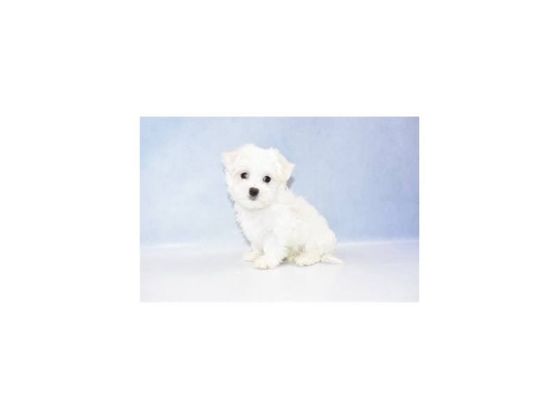 Maltese-DOG-Male-White-2397779-Petland Naperville