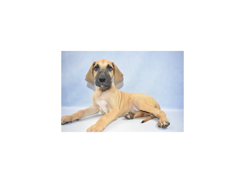Great Dane-Male-Fawn-2397944-Petland Naperville