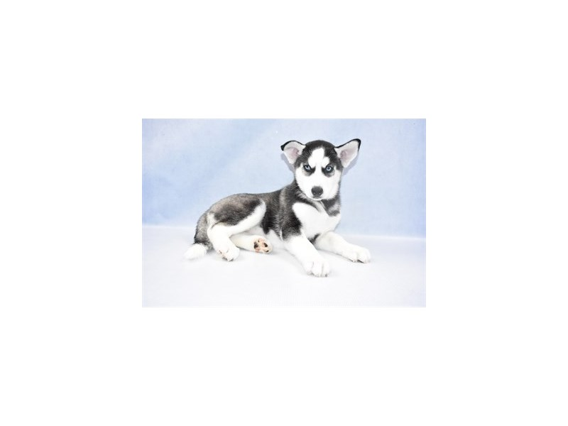 Siberian Husky-Female-Black and White-2397982-Petland Naperville