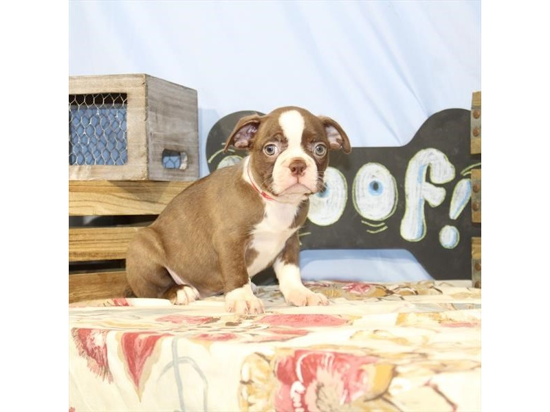 Boston Terrier-Female-Red / Brindle-2398007-Petland Naperville