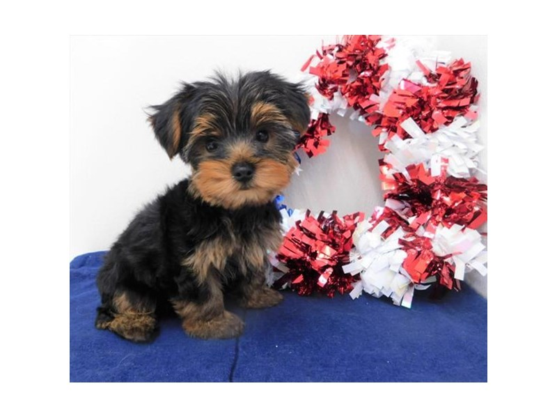 Yorkshire Terrier-Male-Black / Tan-2398766-Petland Naperville