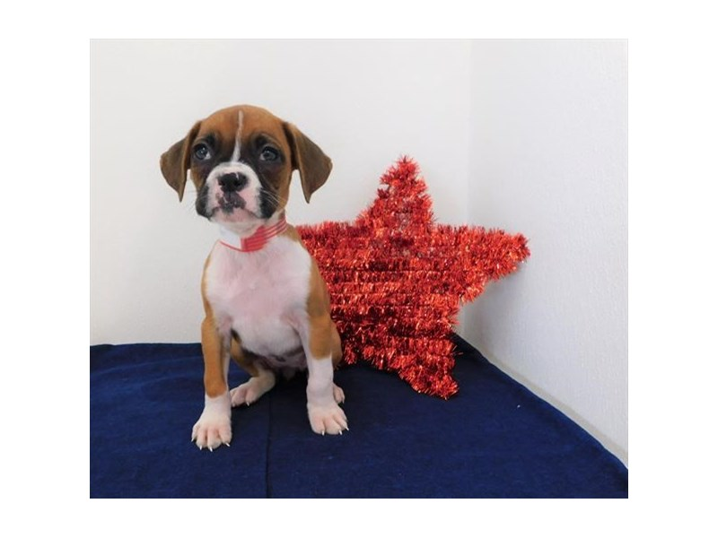 Boxer-DOG-Female-Fawn-2398767-Petland Naperville