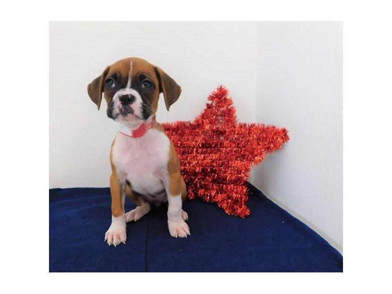 Boxer-Female-Fawn-2398767-Petland Naperville