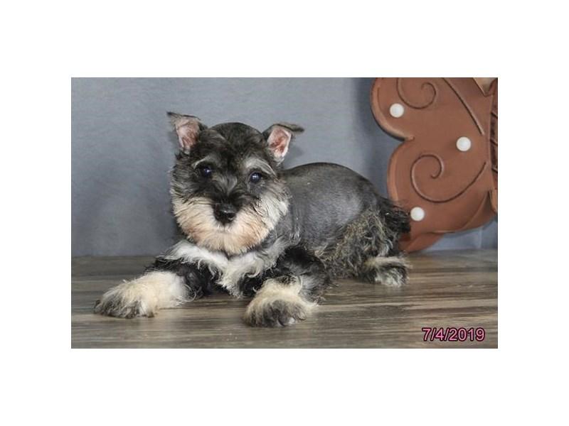 Miniature Schnauzer-DOG-Male-Salt / Pepper-2398772-Petland Naperville