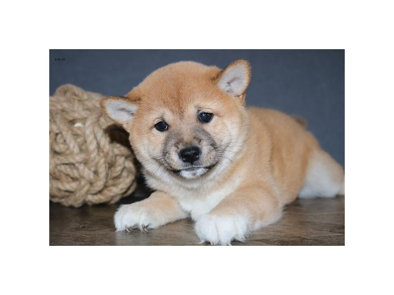 Shiba Inu-DOG-Female-Red-2398773-Petland Naperville