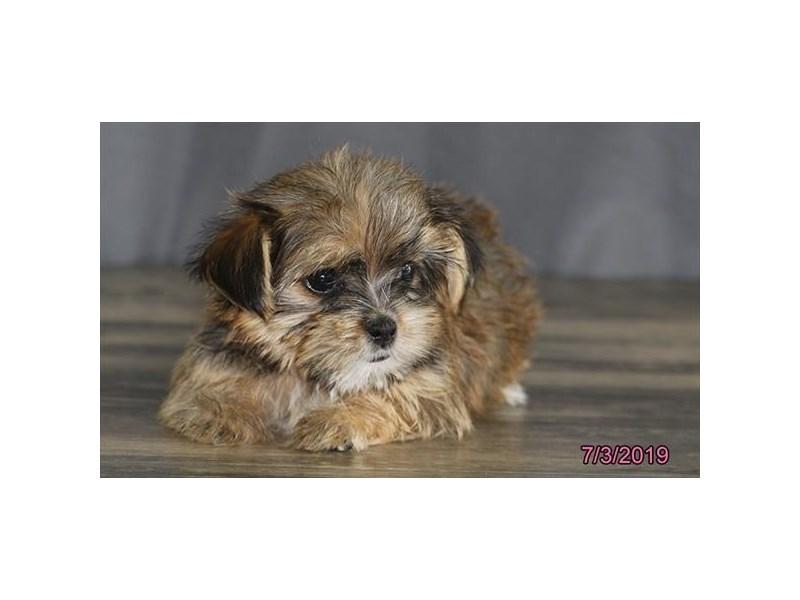 Shorkie-DOG-Female-Wheaten-2398774-Petland Naperville