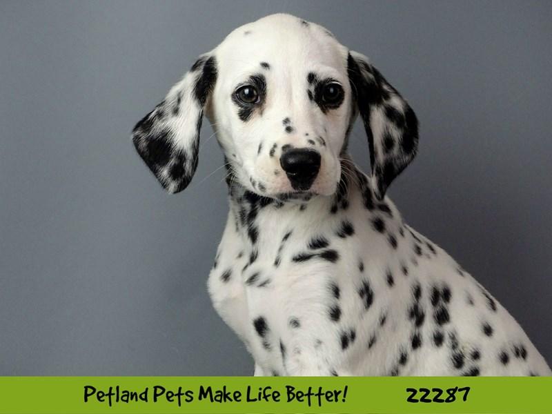 Dalmatian-DOG-Female-black & white-2398338-Petland Naperville