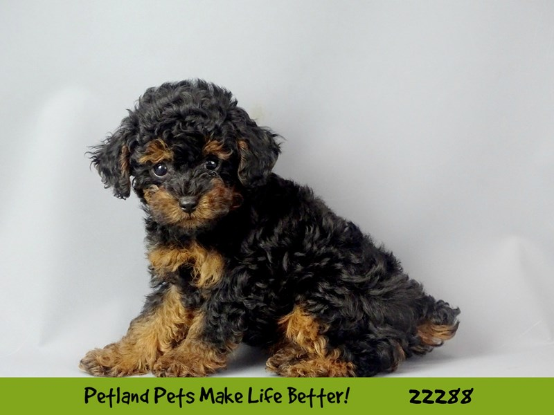 Poodle-Female-black  & red-2398404-Petland Naperville