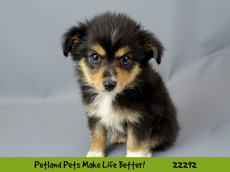 Mini Australian Shepherd-Male-Black Tri-Colored-2398713-Petland Naperville