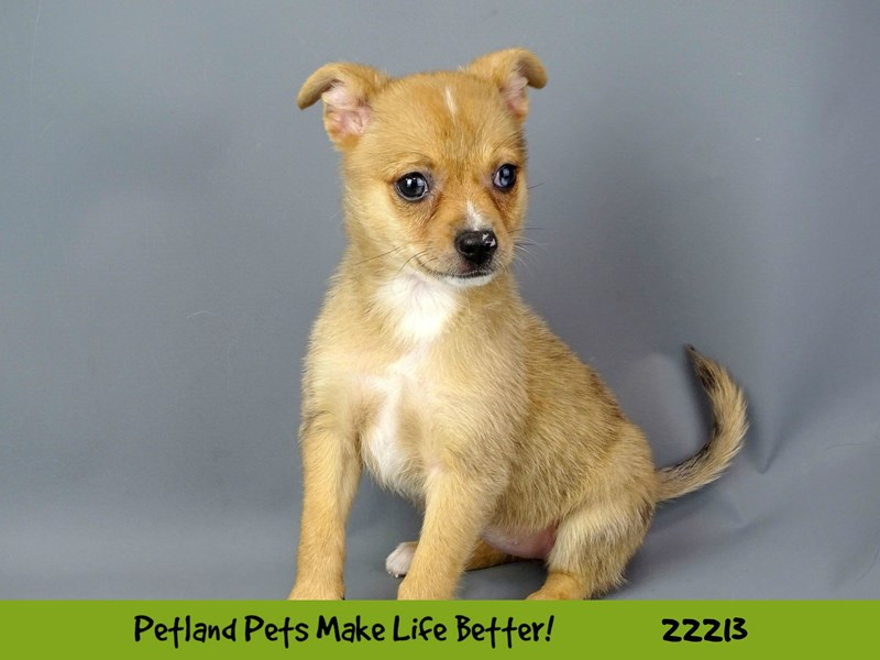 Chihuahua/Pomeranian-DOG-Female-Fawn-2398015-Petland Naperville