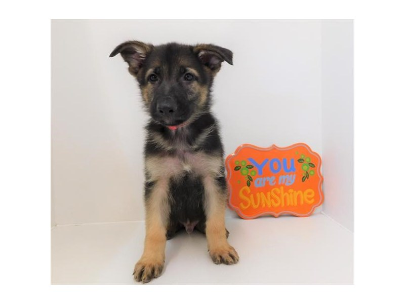German Shepherd Dog-DOG-Male-Black / Tan-2404867-Petland Naperville