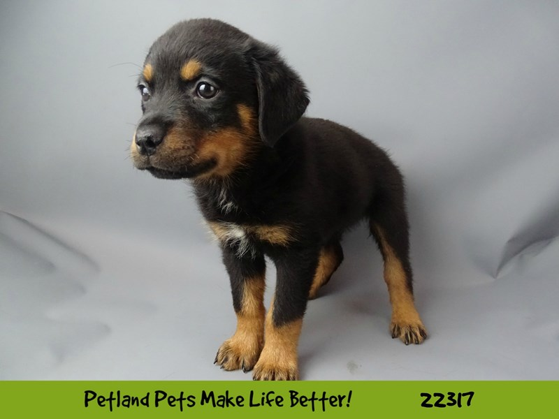 Rottweiler-DOG-Male-black & tan-2404229-Petland Naperville