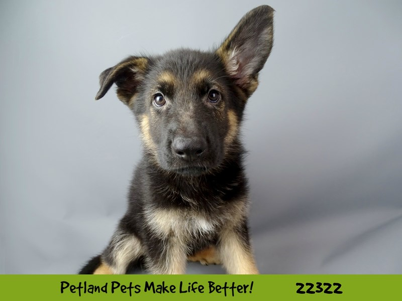 German Shepherd-Male-black & tan-2404345-Petland Naperville