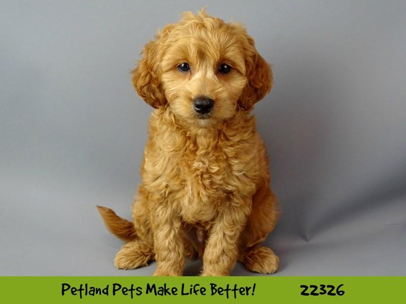 Golden Retriever/Miniature Poodle-Male-Dark Apricot-2404571-Petland Naperville