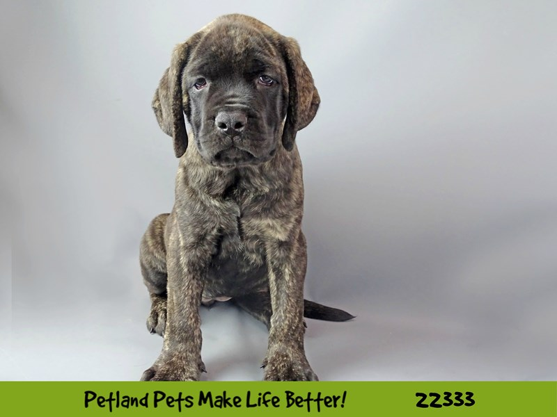 Mastiff-Female-Brindle-2404575-Petland Naperville
