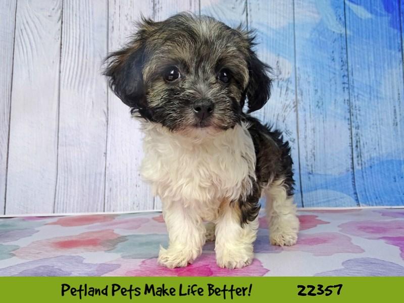 Havanese/Bichon Frise-DOG-Female-white-2410992-Petland Naperville