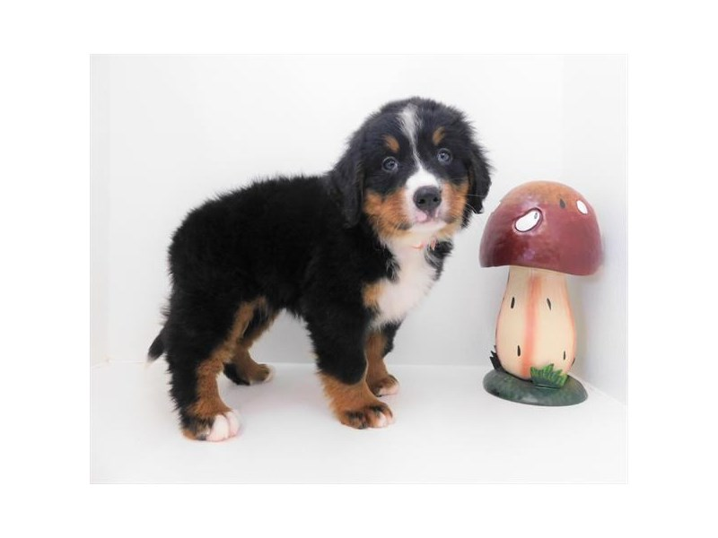 Bernese Mountain Dog-Female-Black White / Tan-2373720-Petland Naperville