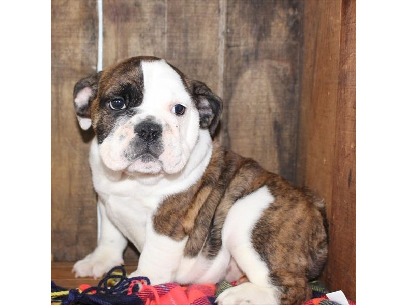 English Bulldog-Female-Brindle / White-2379333-Petland Naperville