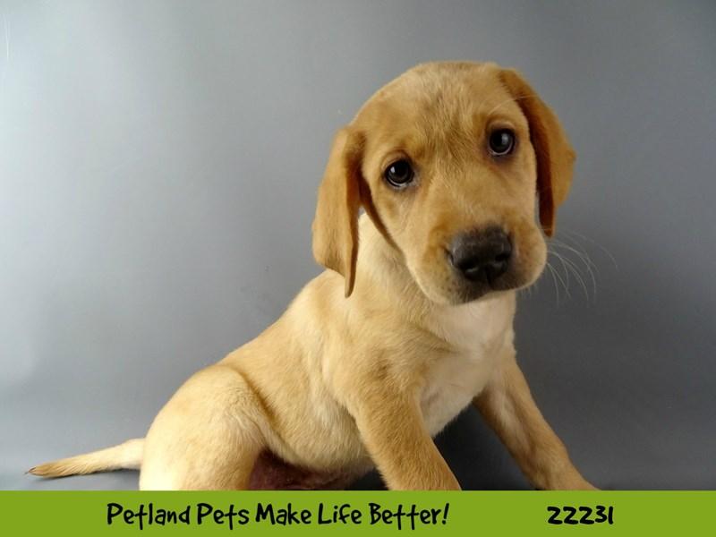 Labrador Retriever-DOG-Male-Red-2380851-Petland Naperville