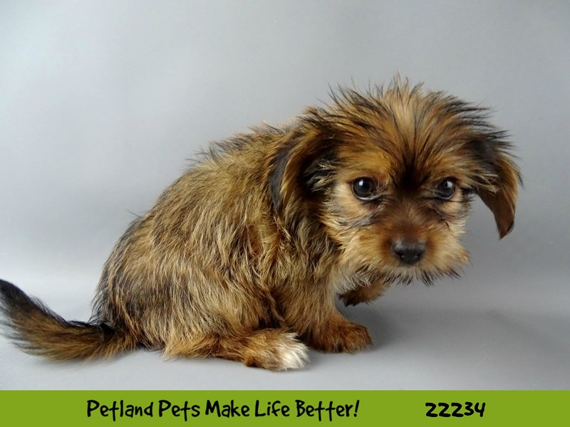 Morkie-DOG-Male-Red/Blk-2381070-Petland Naperville