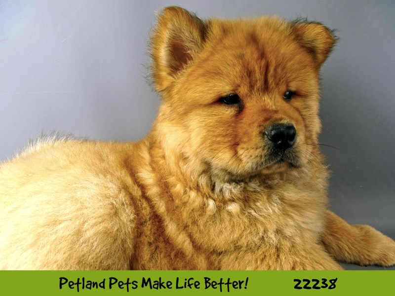 Chow Chow-Male-Red-2381165-Petland Naperville