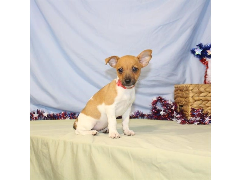 Toy Fox Terrier-Female-White / Red-2386601-Petland Naperville