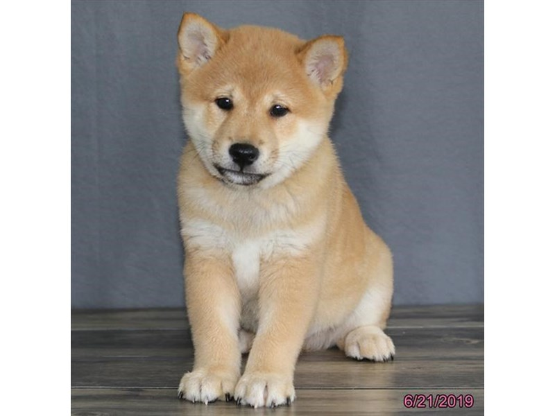 Shiba Inu-DOG-Male-Brown-2386605-Petland Naperville