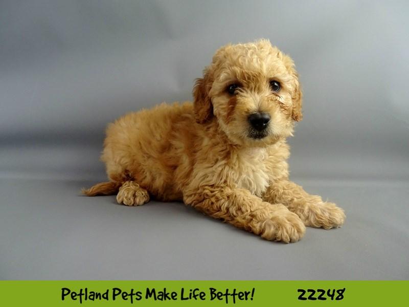 2nd Generation Mini Goldendoodle-DOG-Male-Golden-2386765-Petland Naperville