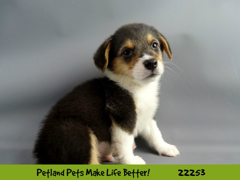 Pembroke Welsh Corgi-DOG-Male-Blk Tri-2386972-Petland Naperville