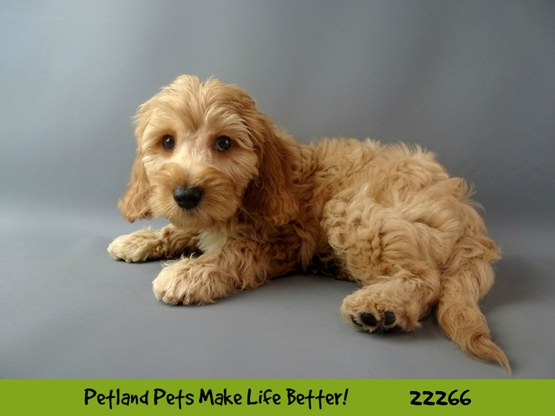 F1B Mini Goldendoodle-DOG-Female-Red-2392630-Petland Naperville