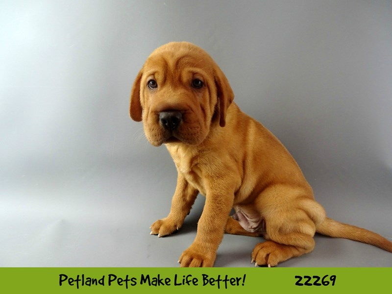 Walrus-DOG-Male-RED-2392717-Petland Naperville