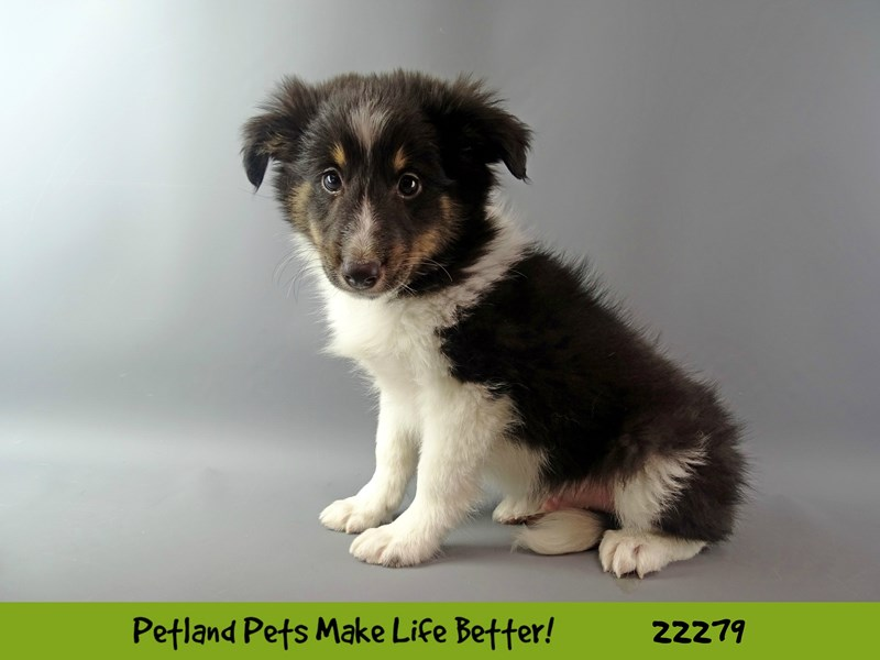 Shetland Sheepdog-Male-Tri-Colored-2392554-Petland Naperville