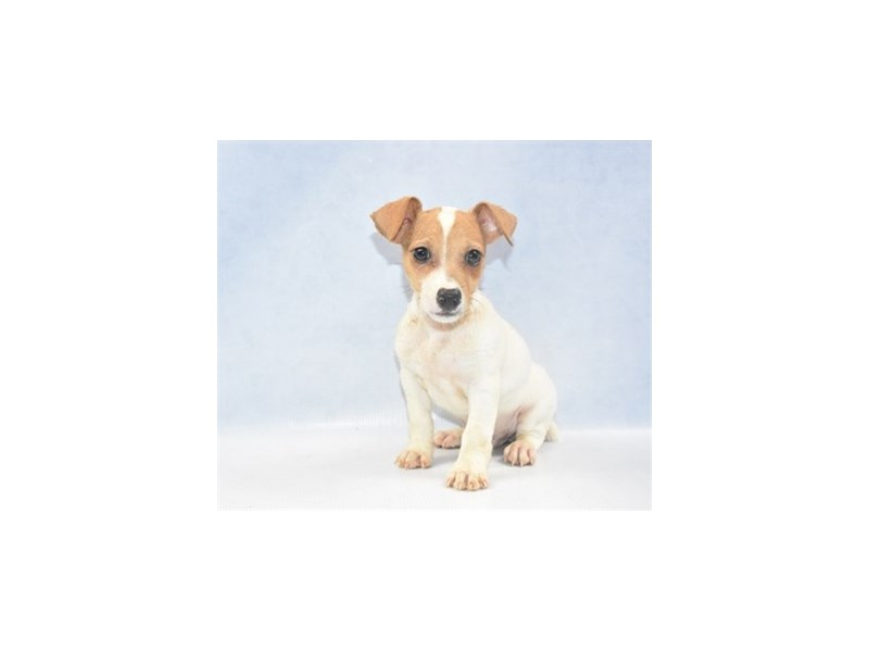 Jack Russell Terrier-Male-White and Brown-2397869-Petland Naperville