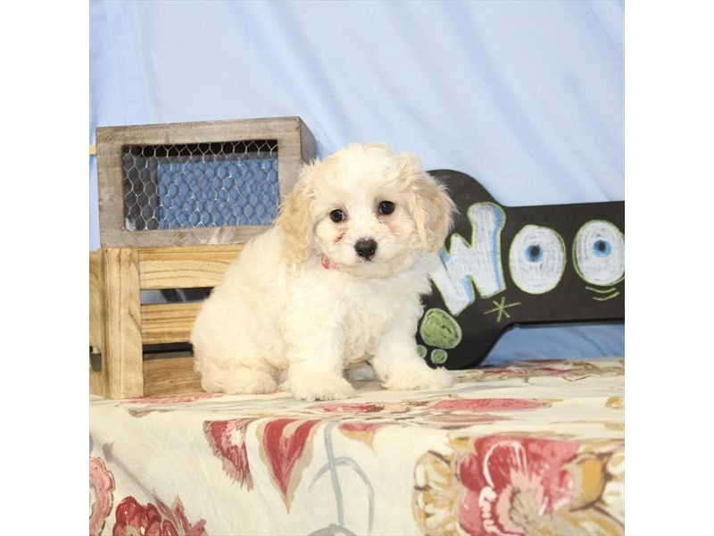 Cavalier King/Bichon-DOG-Male-Blenheim / White-2398009-Petland Naperville