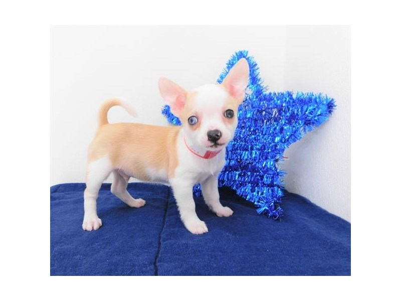Chihuahua-Male-Fawn / White-2398769-Petland Naperville