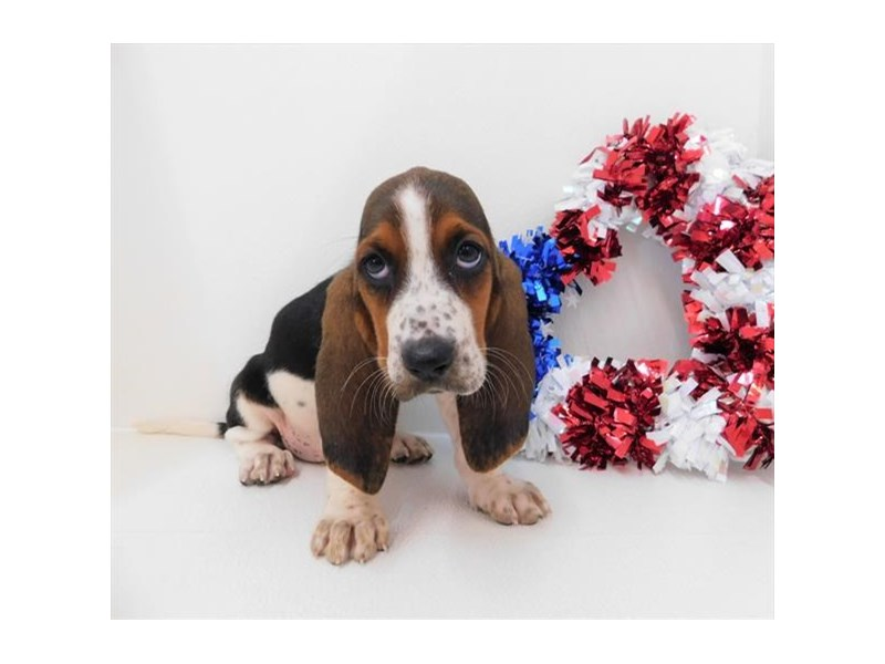 Basset Hound-DOG-Female-Black White / Tan-2398770-Petland Naperville
