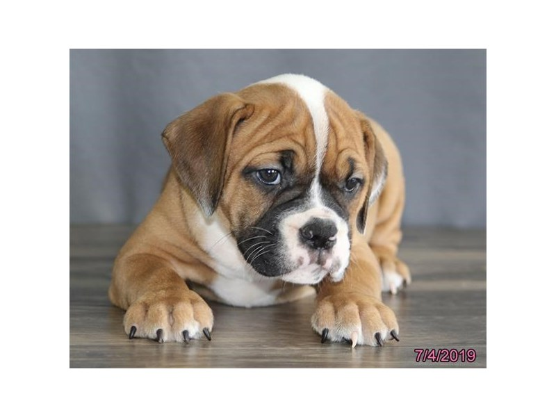 Olde Bulldog-DOG-Female-Fawn / White-2398771-Petland Naperville