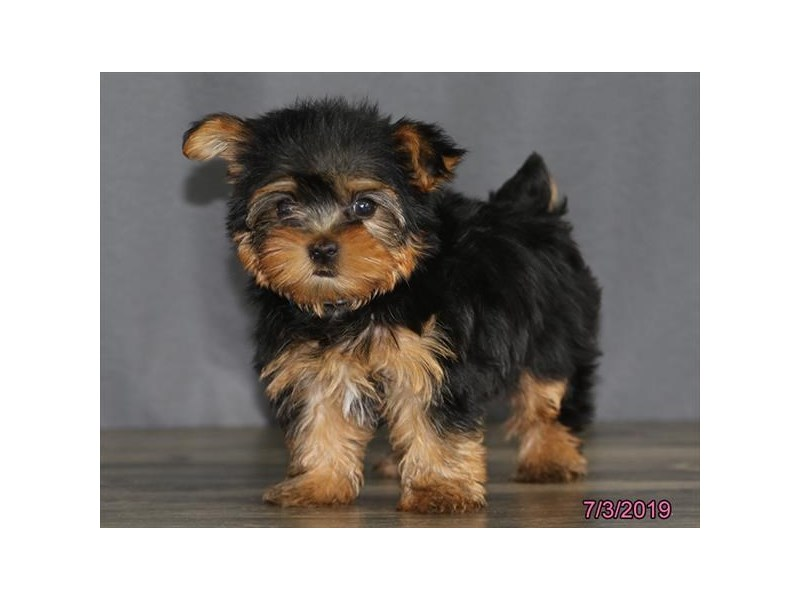 Yorkshire Terrier-DOG-Male-Black / Tan-2398862-Petland Naperville