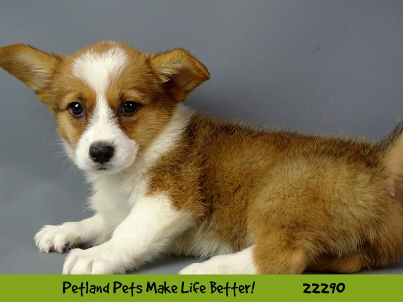 Pembroke Welsh Corgi-Female-red & white-2398517-Petland Naperville