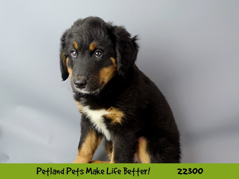 Bernese Mountain Dog/Poodle-DOG-Male-black tri-2398746-Petland Naperville