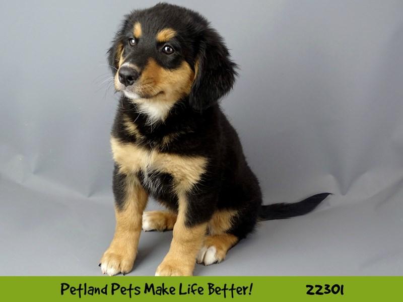 Bernese Mountain Dog/Poodle-Female-black tri-2398762-Petland Naperville